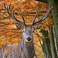 Close-up van edelhert (Cervus elaphus) in bos in de herfst