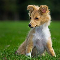 Shetland Sheepdog / Sheltie (Canis lupus familiaris) pup in tuin
