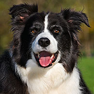 Bordercollie / Border Collie (Canis lupus familiaris) in tuin