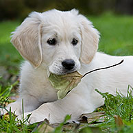 Golden retriever (Canis lupus familiaris) puppy met blad in muil