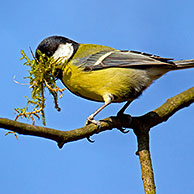 Koolmees (Parus major) verzamelt nestmateriaal in bek